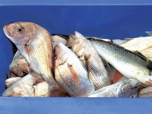 230kg of undocumented snapper was located. Photo for representation purpose only.