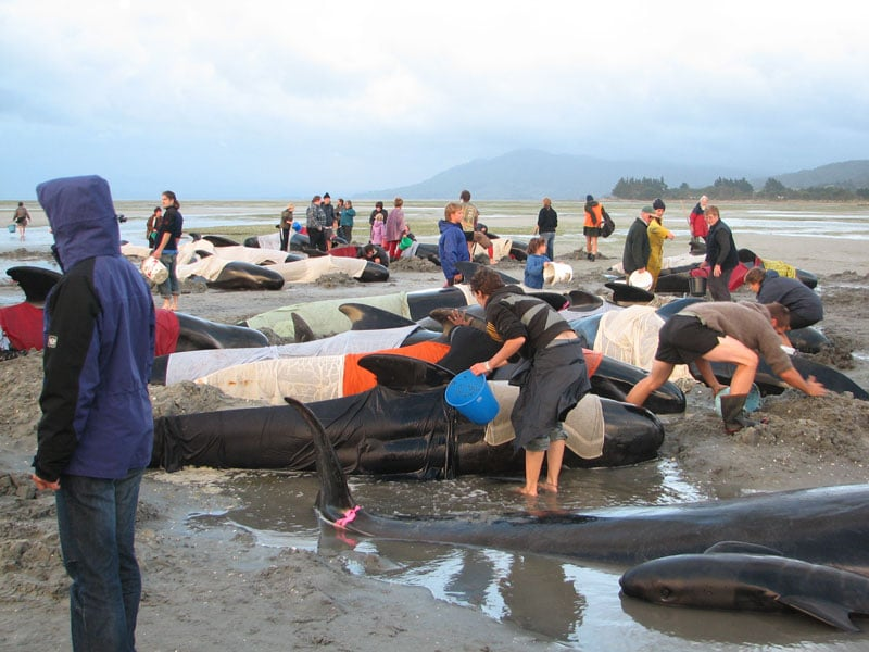 Whales-stranded-Farewell-Spit-Dec-2005