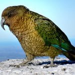 New project for kea conservation